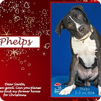 Adopt A Pet :: Phelps - Ringwood, NJ