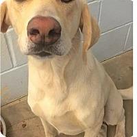 Labrador Retriever Mix Dog for adoption in Springdale, Arkansas - Savannah