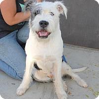 Adopt A Pet :: Atticus - Arlington, WA