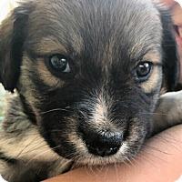 Adopt A Pet :: Soraya - Alpharetta, GA