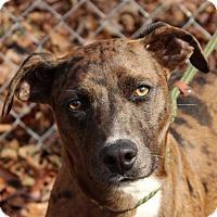 Adopt A Pet :: Dottie - Harrisonburg, VA