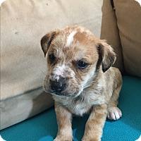 Adopt A Pet :: Albus - Plainfield, IL