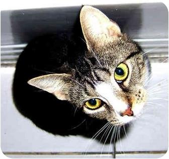 American Shorthair Kitten for adoption in New York, New York - Marvelous Mathilda