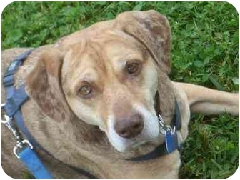 Catahoula Leopard Dog Mix Dog for adoption in Wilmington, Massachusetts - Odessa