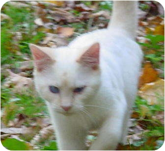Colorpoint Shorthair Kitten for adoption in Metamora, Indiana - Sez