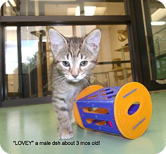 Domestic Shorthair Kitten for adoption in Gadsden, Alabama - Lovey