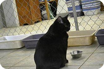 Domestic Shorthair Cat for adoption in East Smithfield, Pennsylvania - Jabba