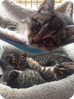 Siamese Cat Rescue Nh