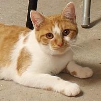 Domestic Shorthair Cat for adoption in Savannah, Missouri - Tulip