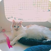 Adopt A Pet :: Houdini - San Ramon, CA