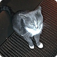 Adopt A Pet :: Mr. Socks_Courtesy Post - Columbia, MD