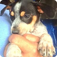 Adopt A Pet :: Chance - Thousand Oaks, CA
