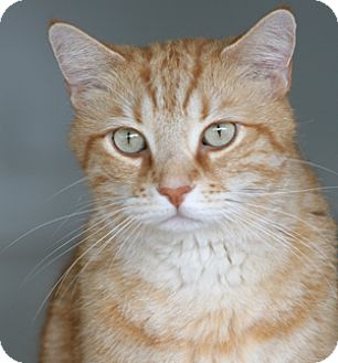 Domestic Shorthair Cat for adoption in North Fort Myers, Florida - Sunny