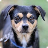 Adopt A Pet :: Darla - Sunnyvale, CA
