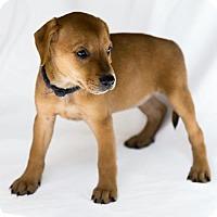 Adopt A Pet :: Foxtrot - Arlington, VA