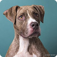 Boxer/Pit Bull Terrier Mix Dog for adoption in Anniston, Alabama - Tibble