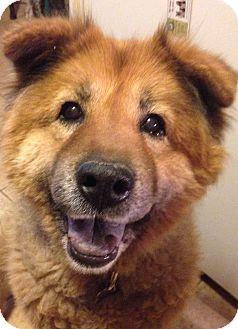 Golden Retriever/Chow Chow Mix Dog for adoption in Phoenix, Arizona - Tedi