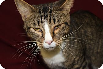 Domestic Shorthair Cat for adoption in Danville, Illinois - CAROL