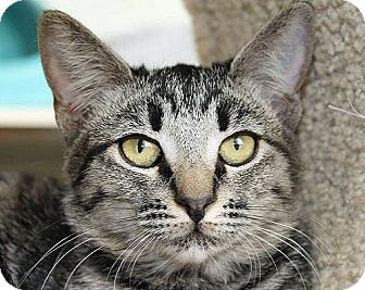 Domestic Shorthair Cat for adoption in Mountain Center, California - Paprika