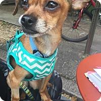 Adopt A Pet :: Caesar - Philadelphia, PA
