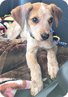Australian Cattle Dog/Blue Heeler Mix Puppy for adoption in Brattleboro, Vermont - (T) Rusty ~ ADOPTED!