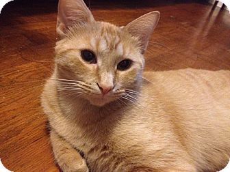 Domestic Shorthair Cat for adoption in Chattanooga, Tennessee - Mimosa (fee waived)