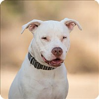 American Staffordshire Terrier Mix Dog for adoption in Escondido, California - Ivy