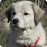 Adopt A Pet :: Papa Bear - Kiowa, OK