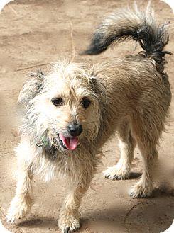 Schnauzer (Miniature) Mix Dog for adoption in Allentown, Pennsylvania - Chance