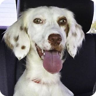 English Setter Dog for adoption in New Braunfels, Texas - Chelsea
