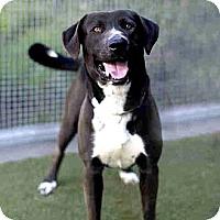 Adopt A Pet :: Luke - Marina del Rey, CA