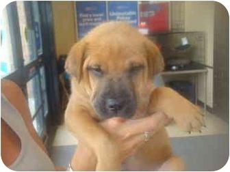 Shar pei boxer mix puppy for adoption in callahan florida commander
