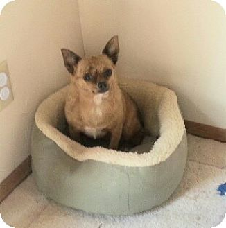 Chihuahua Dog for adoption in Templeton, California - Pippy