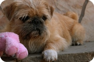 Brussels Griffon/Pug Mix Dog for adoption in Los Angeles, California - ROSCOE - ADOPTION PENDING