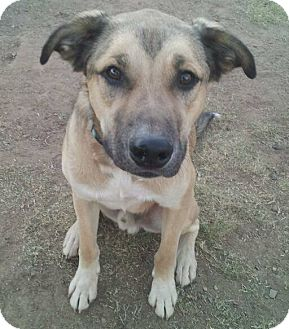Shepherd (Unknown Type) Mix Dog for adoption in Scottsdale, Arizona - Farley