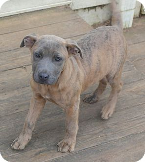 Mastiff/Labrador Retriever Mix Puppy for adoption in Seneca, South Carolina - Winston $200
