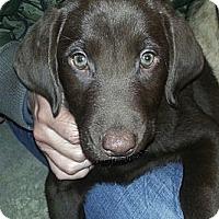 Adopt A Pet :: female Choc Lab pups! - Chicago, IL