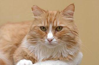 Domestic Mediumhair Cat for adoption in Auburn, California - Daddy O