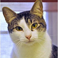 Domestic Shorthair Cat for adoption in Carencro, Louisiana - Squirt