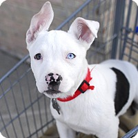 Adopt A Pet :: Finn-Pending! - Detroit, MI