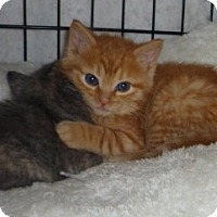 Adopt A Pet :: Maine Coon Mix litter - Dallas, TX