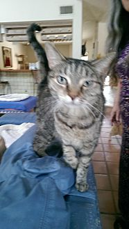 Domestic Shorthair Cat for adoption in Naples, Florida - Peanut