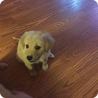 Labrador Retriever Mix Puppy for adoption in elizabethtown, New York - Jax