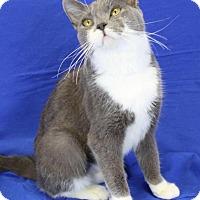Domestic Shorthair Cat for adoption in Winston-Salem, North Carolina - Betsy