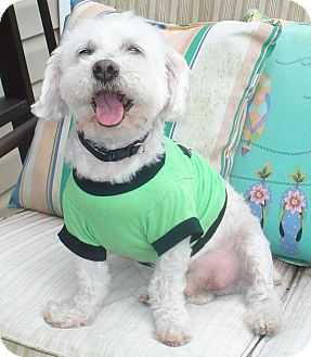 Poodle (Miniature) Mix Dog for adoption in Charlotte, North Carolina - Toby