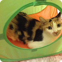 Adopt A Pet :: Kitty Kartashian - Scottsdale, AZ