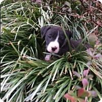 Pit Bull Terrier/Boxer Mix Puppy for adoption in Harrisonburg, Virginia - Olive