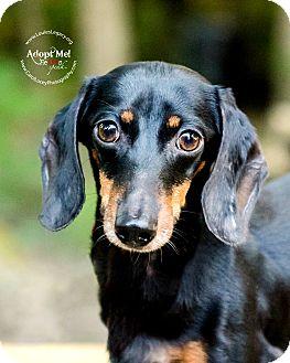 Dachshund Mix Dog for adoption in Cincinnati, Ohio - PeeWee