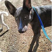 Shepherd (Unknown Type) Mix Puppy for adoption in Ventura, California - Shadow