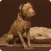 Adopt A Pet :: Samson - Flint, MI